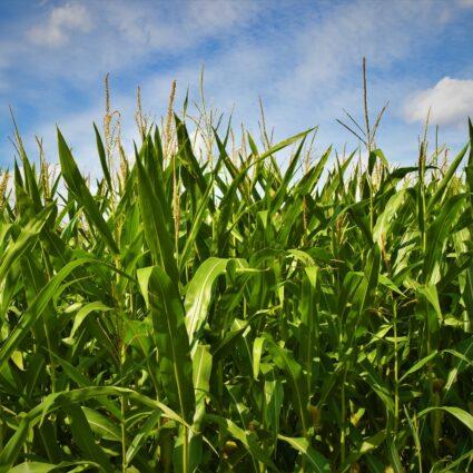 NDVI corn